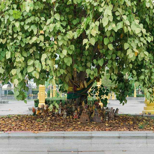 Cây bồ đề được trồng ở các ngôi chùa