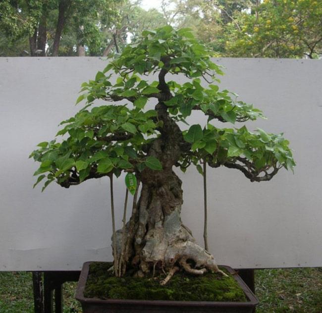 Có nên trồng cây bồ đề trước nhà hay không