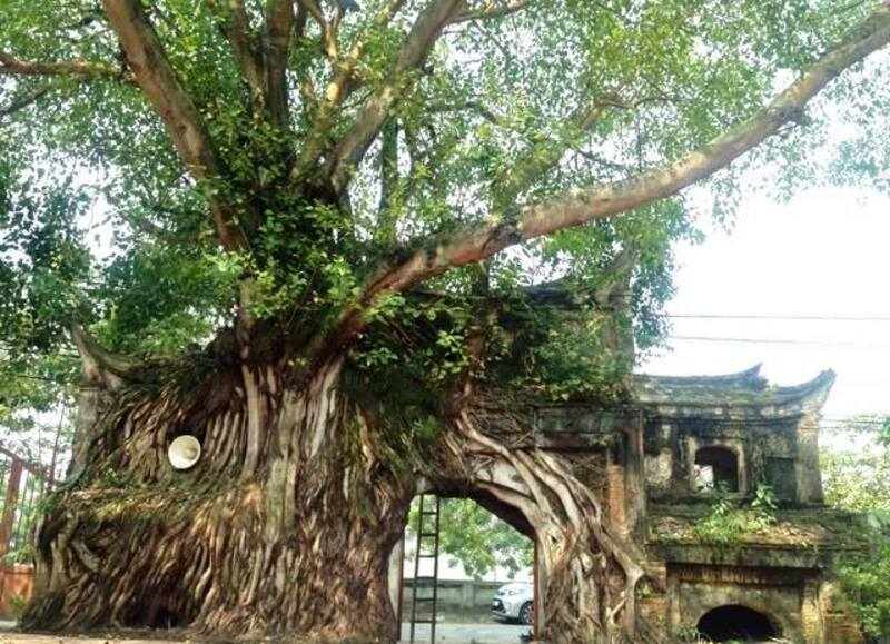 Đặc điểm cây bồ đề